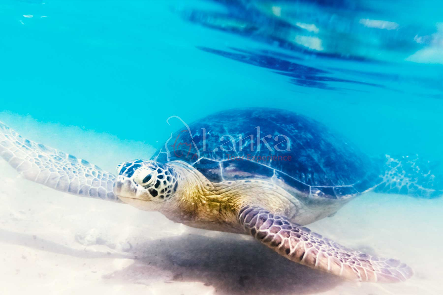 Best things to do in Sri Lanka, Turtle at Hikkaduwa beach